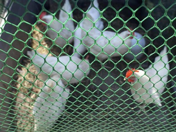 some hens are enclosed by green extruded plastic mesh.